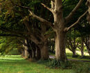 Avenue Of Beech Trees, Badbury, Dorset, England, UK.