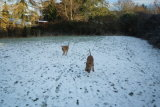 Kerrykeel Irish Terriers in the snow