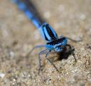 Common Blue Damselfly Eyes