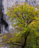 Ash Tree, Malham Cove