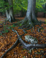 Beech Trees, Eaves Wood