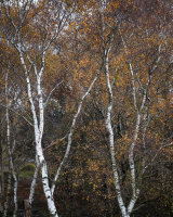 Autumn Birch, Whitbarrow