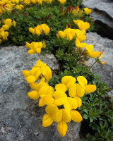 Bird's-foot Trefoil, Southerscales