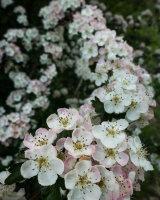 Hawthorn Blossom 01