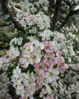 Hawthorn Blossom 02