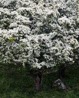 Hawthorn Blossom, Hutton Roof