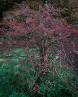 Hawthorn, Scaleber Woods