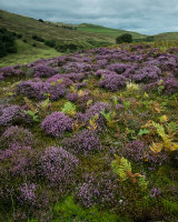 Heather, Leck Fell
