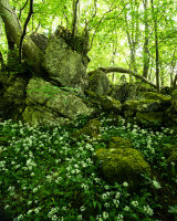 Limestone and Ramsons, Hutton Roof