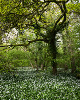 Oak and Ramsons