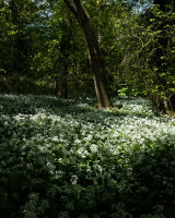 Ramsons, Bottom Wood