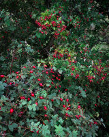Rosehips and Haws, Smardale