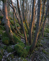 Evening Light, Strickland Wood