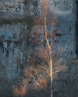 Sunlit Birch, Malham Cove