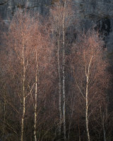 Sunlit Birch, Warton Crag Quarry