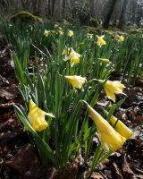 Wild Daffodils, Brigsteer