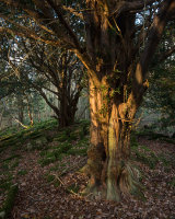 Yew, Cringlebarrow