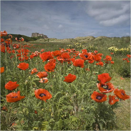 Poppy fields (see video)