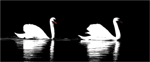 Swan Art : Swan Duet