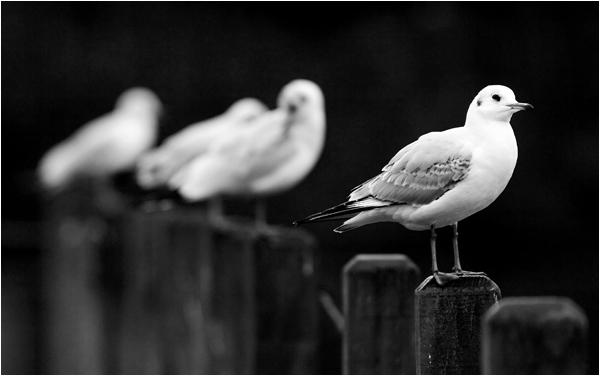 Winter gulls