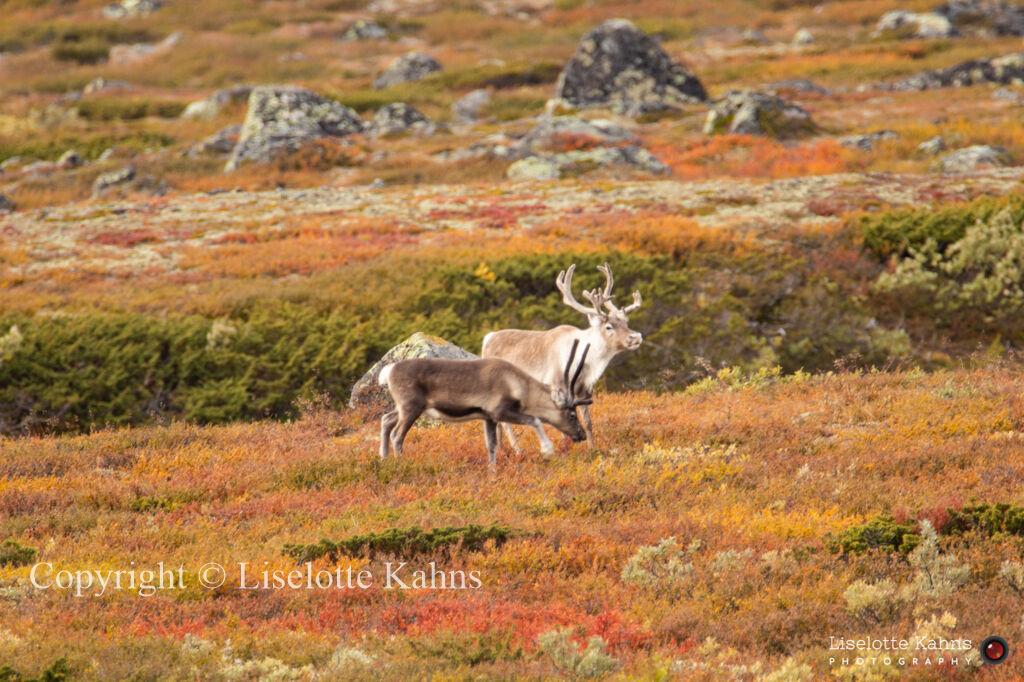 Reindeer, Valdresflyi