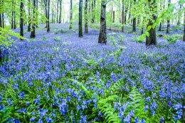 Portglenone Bluebells - 1567