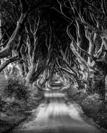 Dark Hedges - 7019