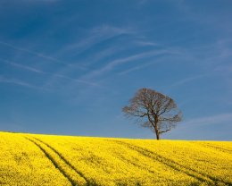 Field of Gold, Comber - 4828