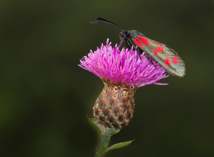 Six-spot Burnet on Knapweed