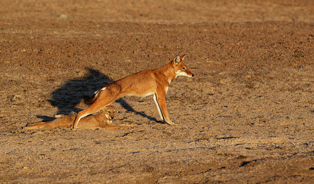 Ethiopian Wolf with Pup Stretching