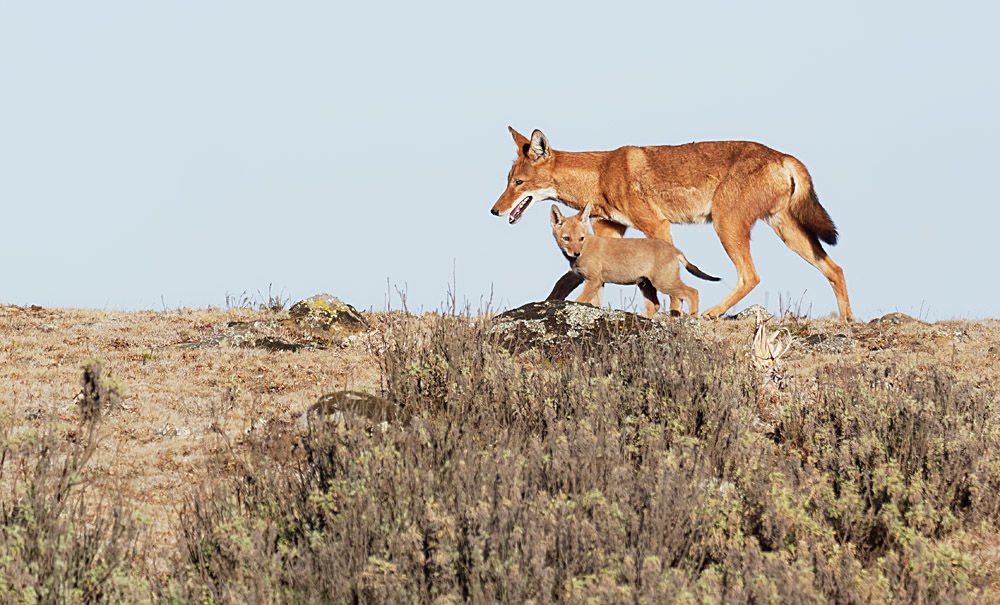 Ethiopian Wolf and Pup