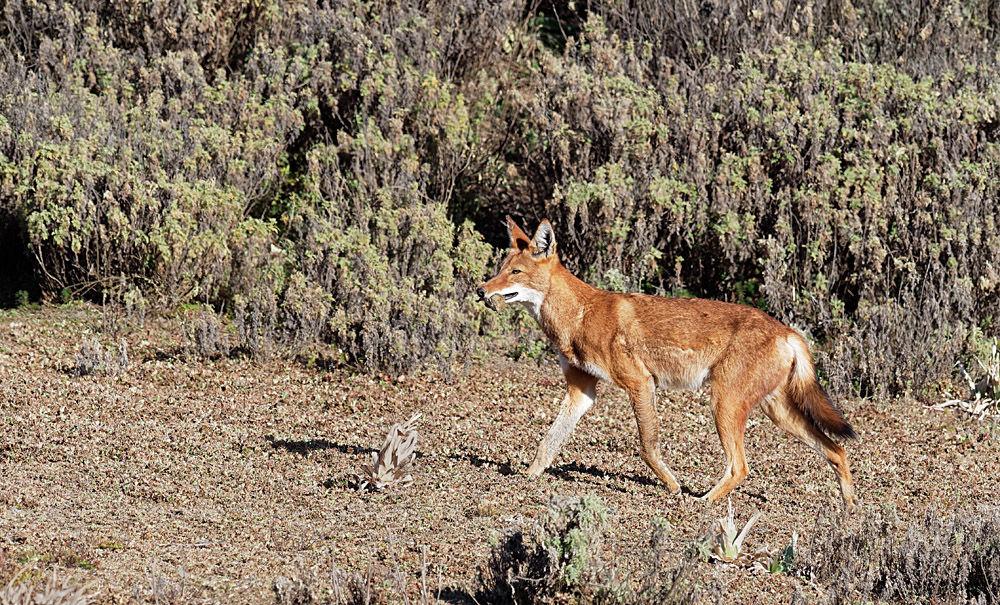 Ethiopian Wolf with Rat