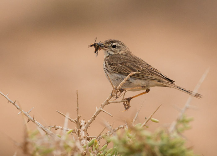 Berthelot's Pipit with Prey