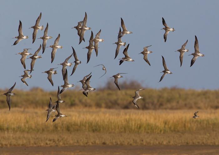 Bar-tailed Godwit Flock