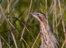 Bittern - close-up