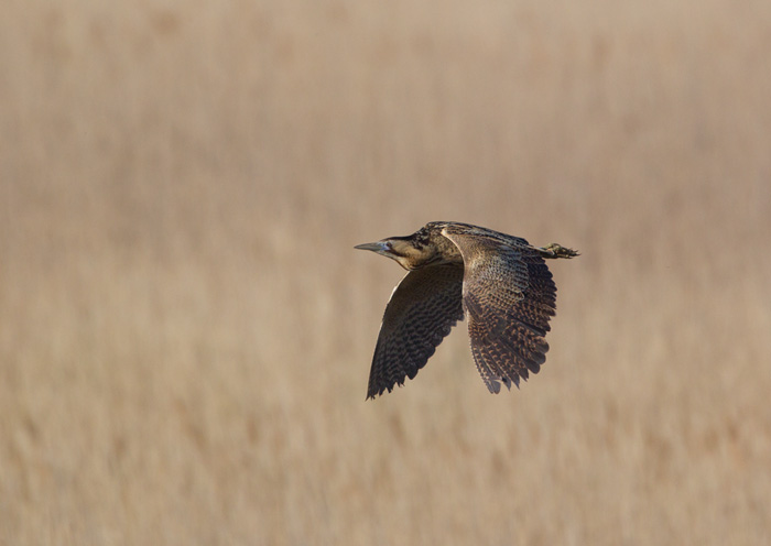Bittern Flying over Reedbed