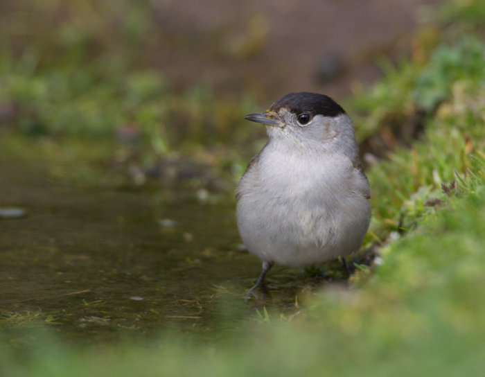 Male Blackcap Bathing