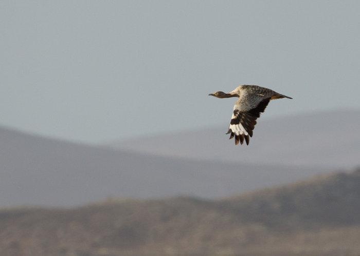 Houbara in Flight