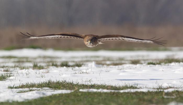 Low-Flying Buzzard