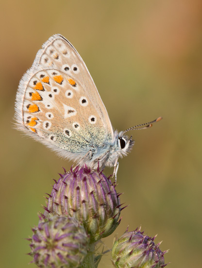 Common Blue on Thistle