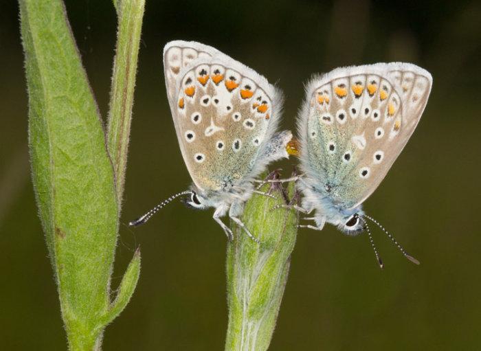 Common Blue Pair