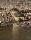 Common Crossbill (Female)