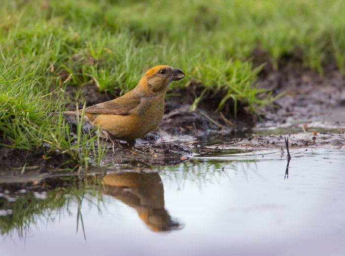 Crossbill at Water