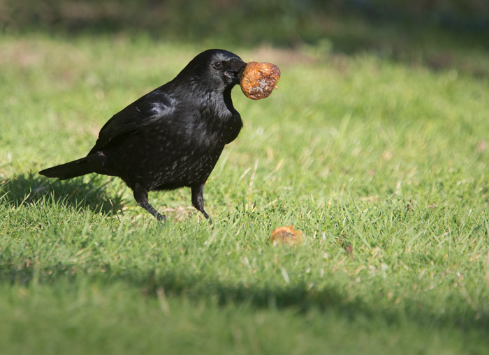 Carrion Crow with Apple