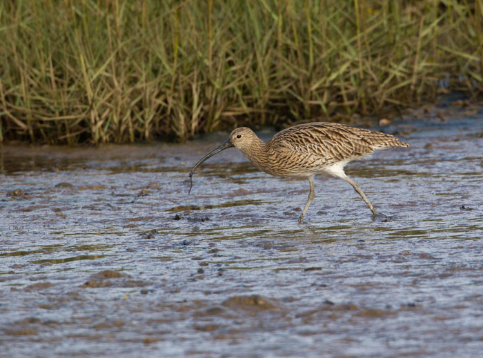 Curlew with Worm