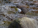 Dipper with Nest Material