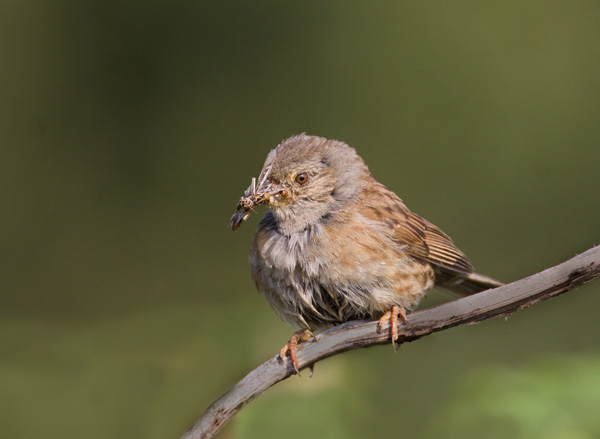 Dunnock Taking Food to Nest