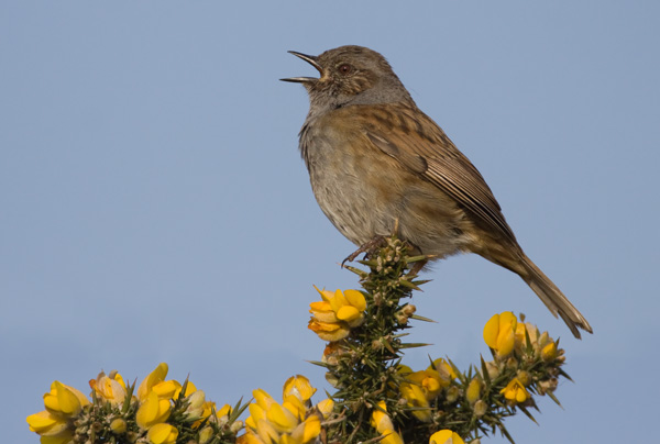 Dunnock in Song