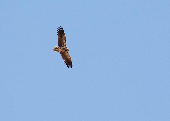 Egyptian Vulture (immature)