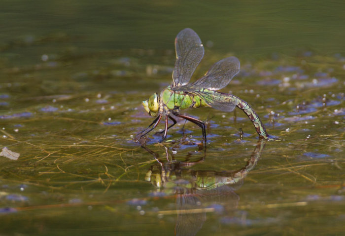 Emperor Dragonfly - ovipositing
